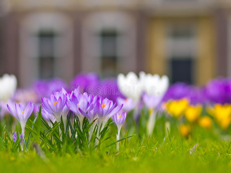 Un groupe de safran violet photo stock