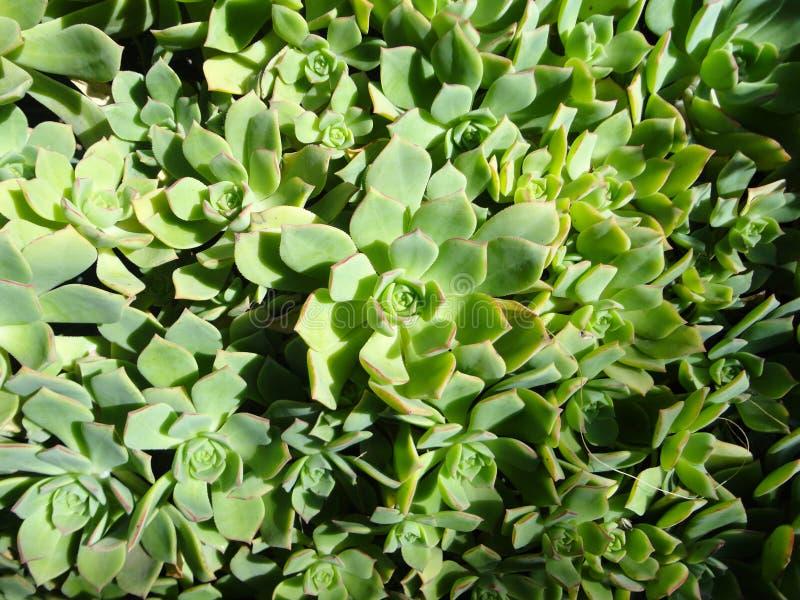Un groupe de Succulents photos libres de droits