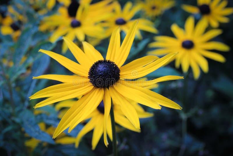 Un groupe de Susan Flowers aux yeux noirs jaune vibrante photo libre de droits