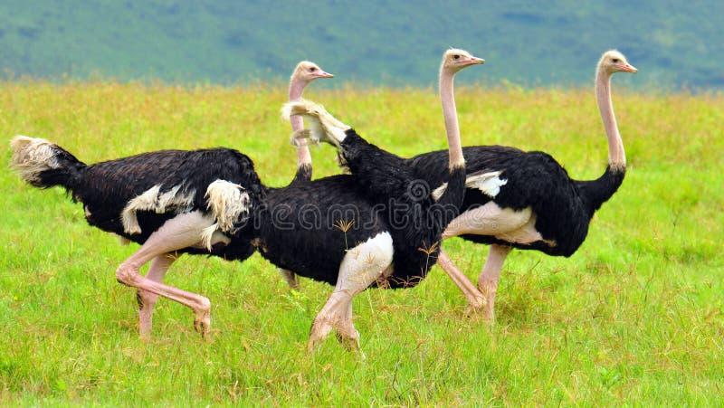 Un grupo de avestruces imagen de archivo libre de regalías