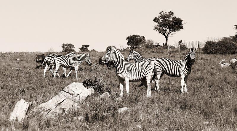 Un grupo de cebras fotos de archivo