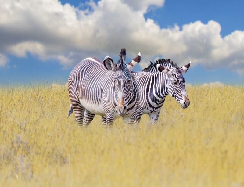 Un grupo de cebras se coloca en la hierba en la sabana en África r Es un fondo natural con fotografía de archivo libre de regalías