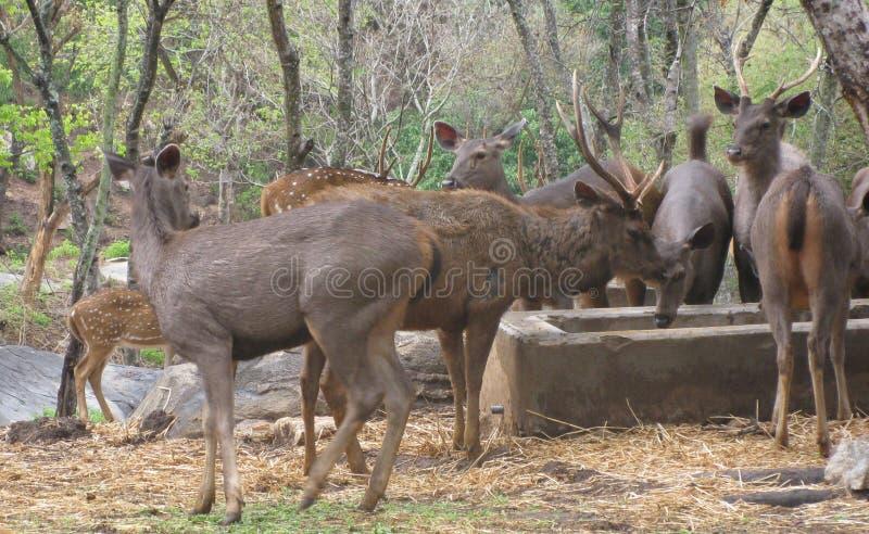 Un grupo de ciervos fotografía de archivo libre de regalías