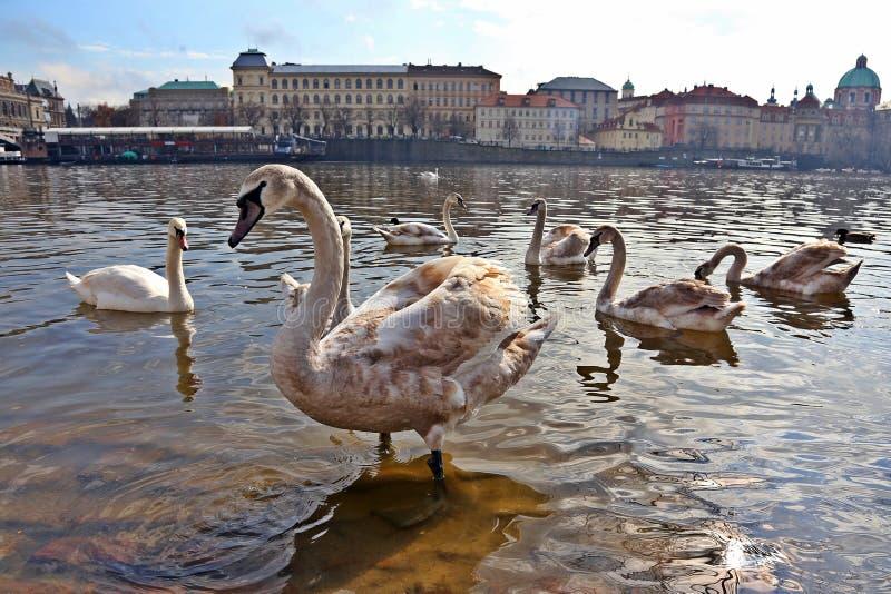 Un grupo de cisnes fotos de archivo
