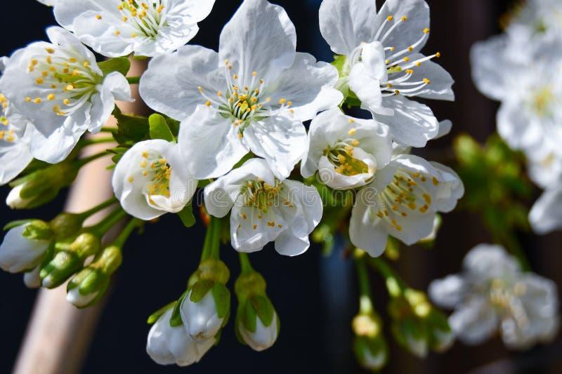 Un grupo de flores de cerezo foto de archivo