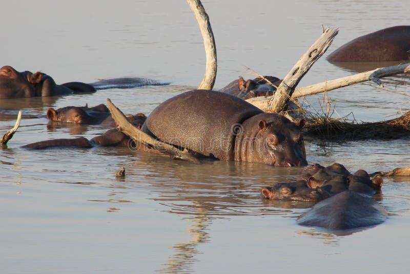 Un grupo de hipopótamos en el agua foto de archivo libre de regalías