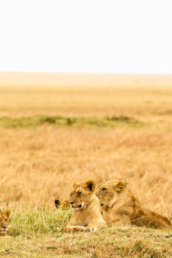 Un grupo de leonas jovenes descansa en la sabana Masai Mara, África fotografía de archivo libre de regalías