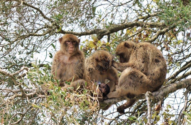 Un grupo de macaques de Barbary foto de archivo libre de regalías