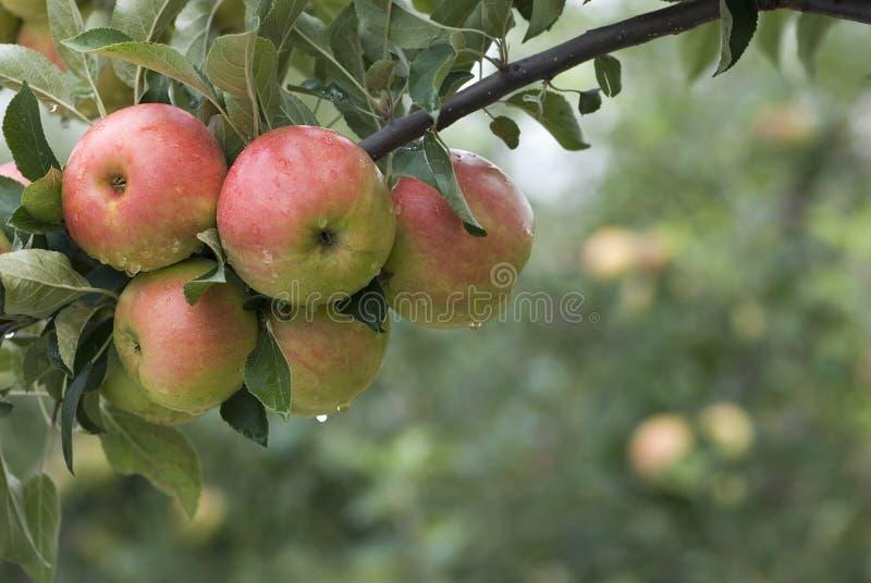 Un grupo de manzanas rojas en una ramificación imagen de archivo libre de regalías