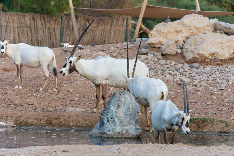 Un grupo de Oryx árabe del oryx que el leucoryx puso en peligro críticamente al residente del golfo árabe se coloca en la arena c fotografía de archivo libre de regalías