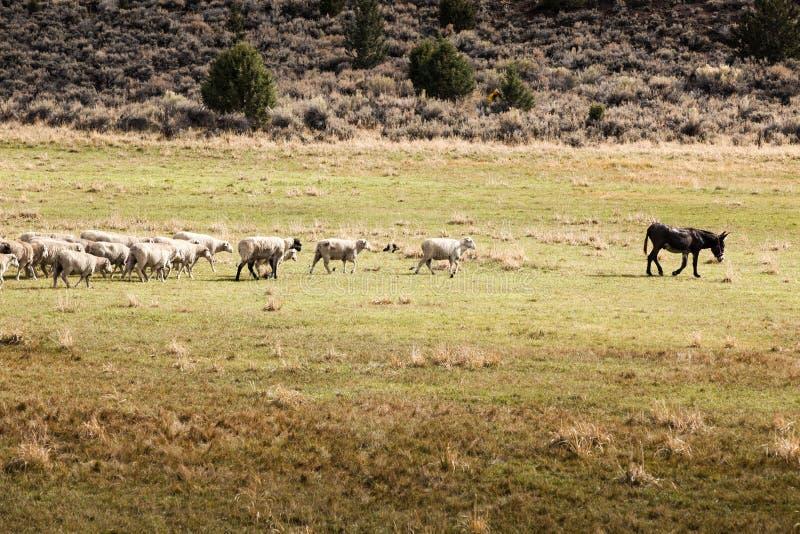 Un grupo de ovejas que siguen un burro como el líder fotos de archivo