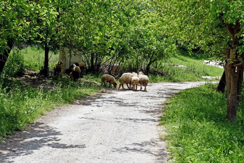 Un grupo de ovejas que toman la sombra del sol turco caliente por debajo el árbol hojeado verde foto de archivo