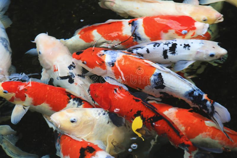 Un grupo de pez de colores de Koi en la charca foto de archivo