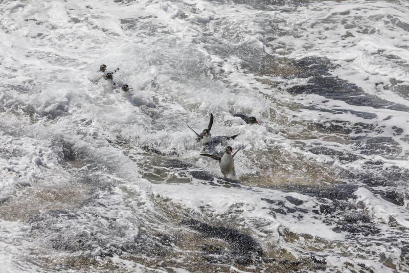 Un grupo de pingüinos del rockhopper que intentan aterrizar en la resaca fuerte en la isla de Saunders, Falkland Islands imagen de archivo