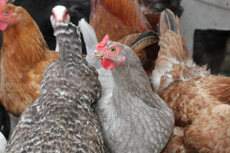 Un grupo de pollos levantados pasto imagen de archivo libre de regalías