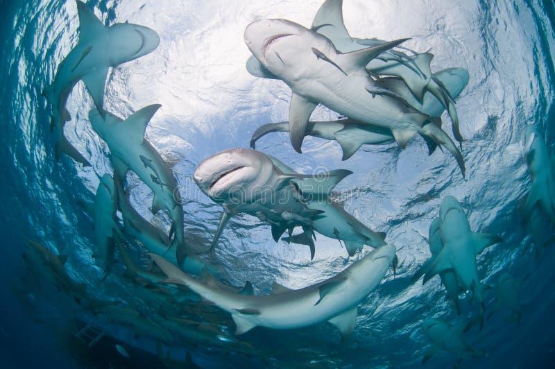Un grupo de tiburones de limón imagen de archivo libre de regalías