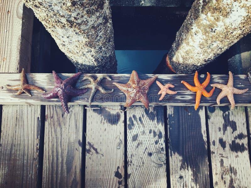 Un grupo diverso de estrellas de mar se alineó a lo largo de los muelles de Comox, B fotografía de archivo libre de regalías