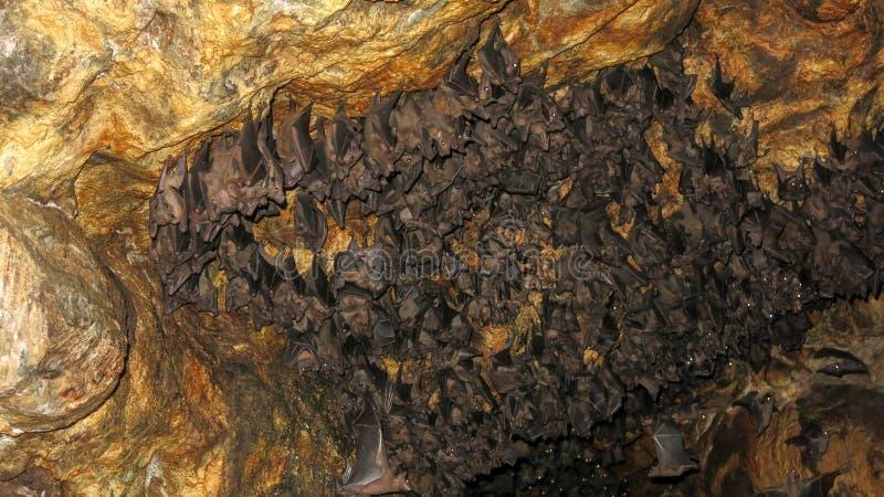Un grupo enorme de palos espera pacientemente en la salida de la cueva en la oscuridad En el techo de la cueva, los palos colgant fotografía de archivo