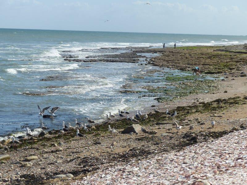 Un grupo grande de gaviota en una playa del Normandie en Francia imagen de archivo libre de regalías