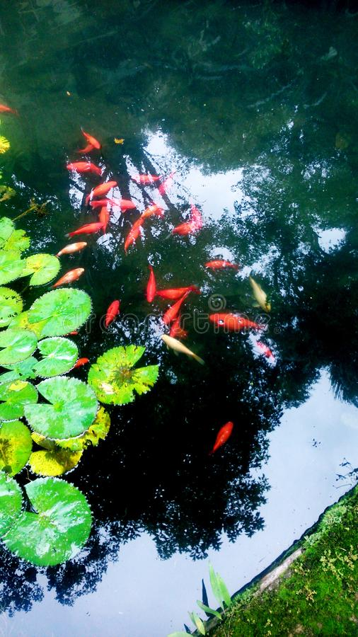 Un grupo hermoso de pescados rojos imagenes de archivo