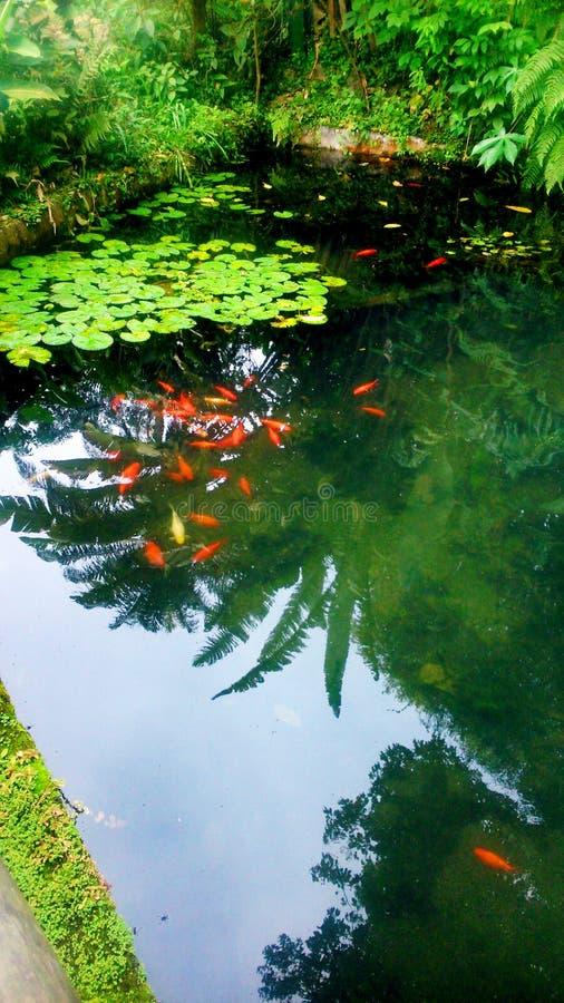 Un grupo hermoso de pescados rojos fotos de archivo