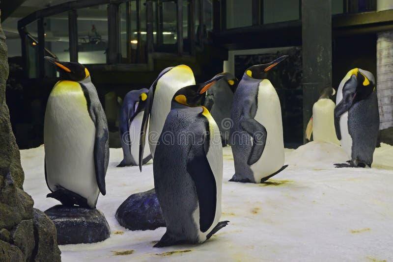 Un grupo o se tambalea de rey Penguins en Sydney Aquarium imagenes de archivo