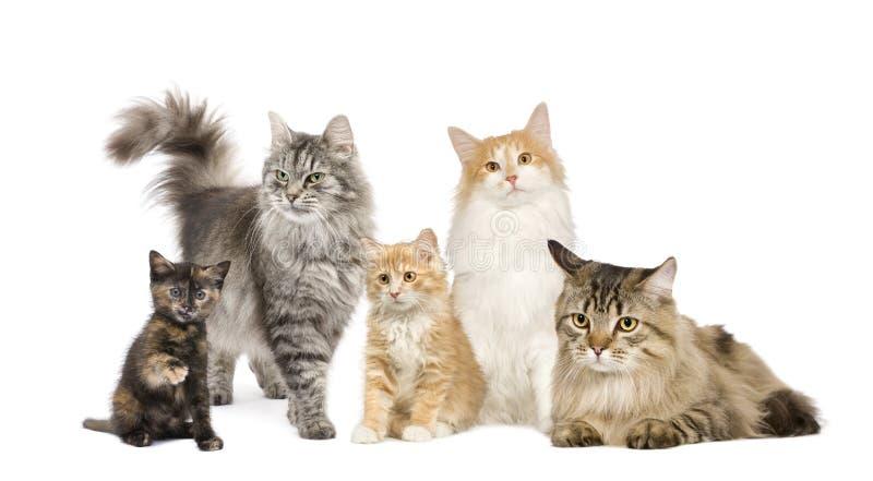 Un gruppo di 5 gatti in una riga: Norvegese, siberiano e immagini stock