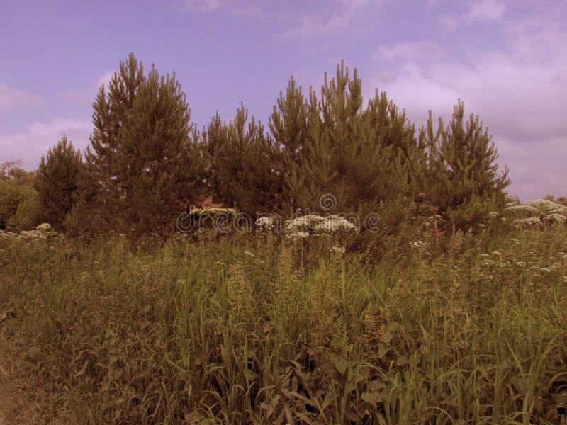 Un gruppo di alberi forestali verdi di abete con alta fienarola dei prati sul margine inferiore immagini stock libere da diritti