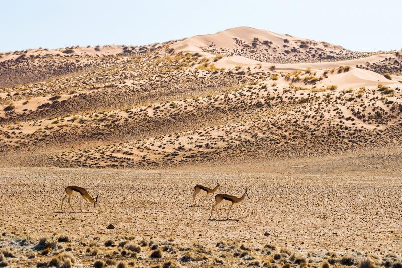 Un gruppo di antilopi dell'antilope saltante in dune rosse di Sossusvlei fotografia stock