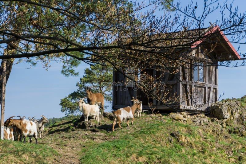 Un gruppo di capre accanto alla loro capanna immagini stock