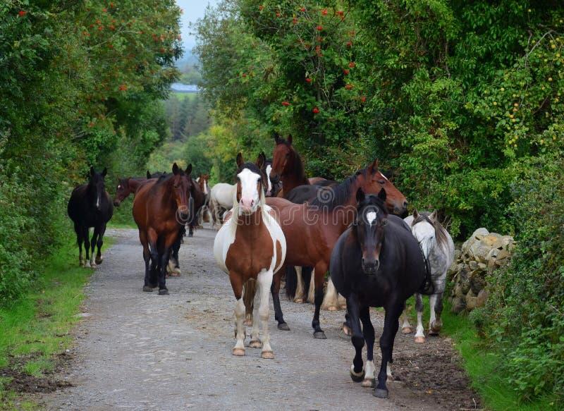 Un gruppo di cavalli che vanno alla loro stalla l'irlanda fotografia stock libera da diritti