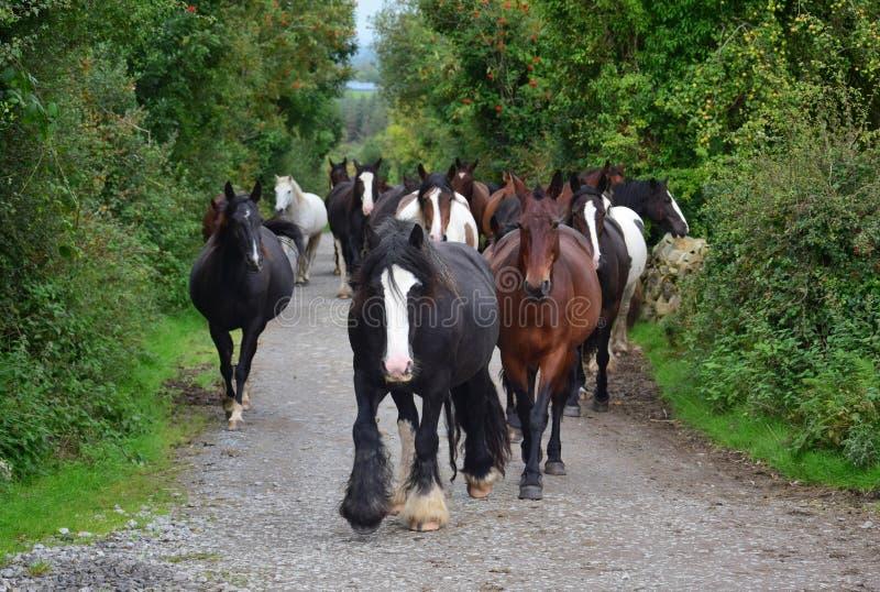 Un gruppo di cavalli che vanno alla loro stalla l'irlanda immagini stock libere da diritti