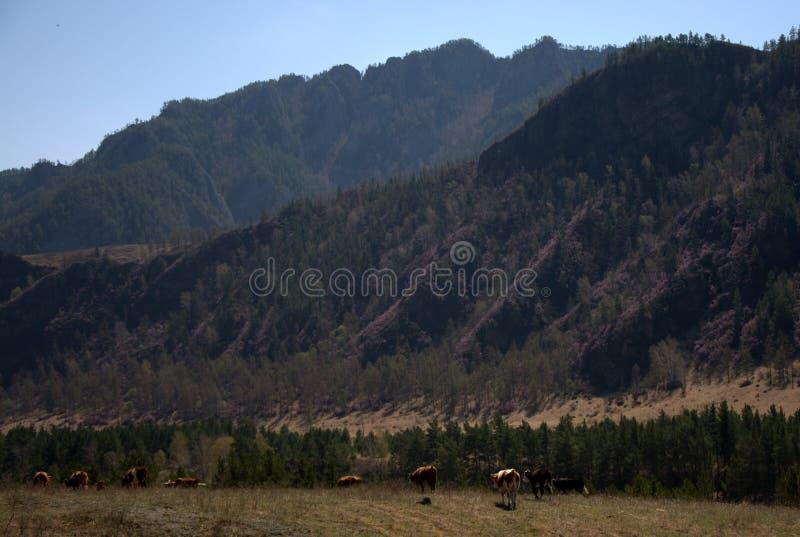 Un gruppo di cavalli pasce in una valle fertile circondata dalle montagne immagini stock libere da diritti