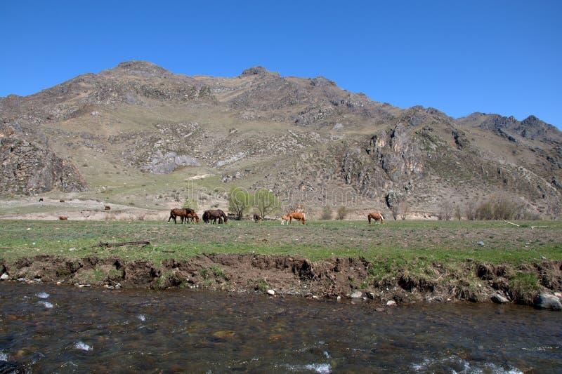 Un gruppo di cavalli pasce in una valle fertile circondata dalle montagne immagine stock