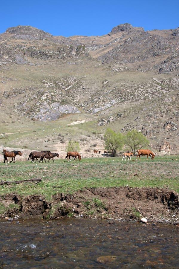Un gruppo di cavalli pasce in una valle fertile circondata dalle montagne Altai, Siberia, Russia paesaggio immagini stock