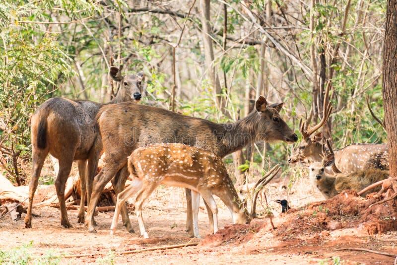 Un gruppo di cervi del sambar che stanno sotto un albero immagine stock libera da diritti
