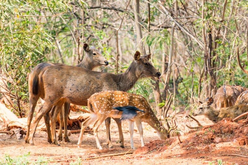 Un gruppo di cervi del sambar che stanno sotto un albero & che guardano nei confronti del visititor fotografie stock libere da diritti