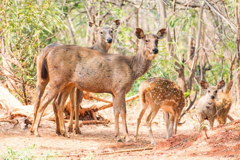 Un gruppo di cervi del sambar che stanno sotto un albero & che guardano nei confronti del visititor fotografia stock