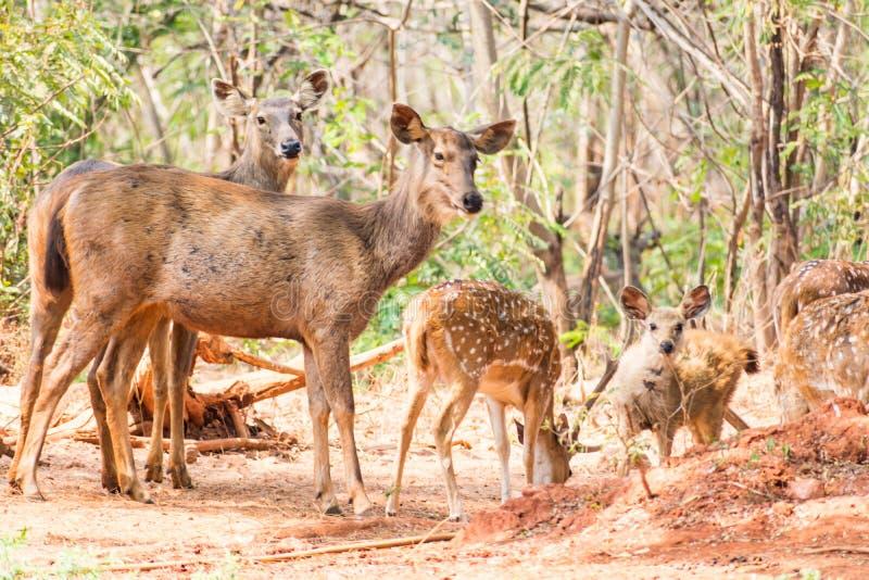 Un gruppo di cervi del sambar che stanno sotto un albero & che guardano nei confronti del visititor fotografie stock