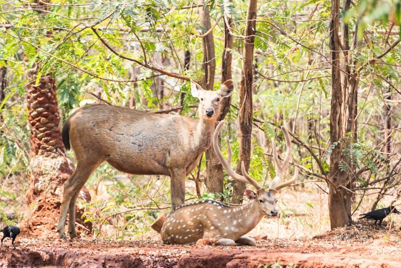 Un gruppo di cervi del sambar che stanno sotto un albero & che guardano nei confronti del visititor fotografia stock libera da diritti