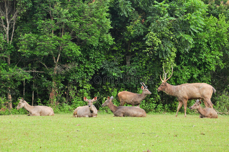 Un gruppo di cervi del Sambar nella sosta nazionale di Khao Yai, fotografia stock libera da diritti