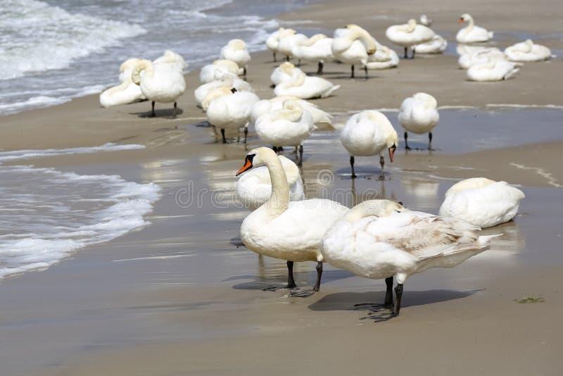 Un gruppo di cigni sulla spiaggia fotografia stock libera da diritti