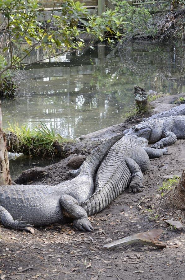 I coccodrilli si avvicinano allo stagno fotografia stock libera da diritti