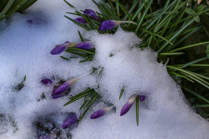 Un gruppo di croco sotto neve fotografia stock