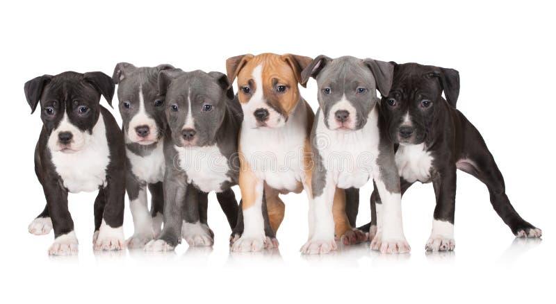 Un gruppo di cuccioli del terrier di Staffordshire americano immagini stock libere da diritti