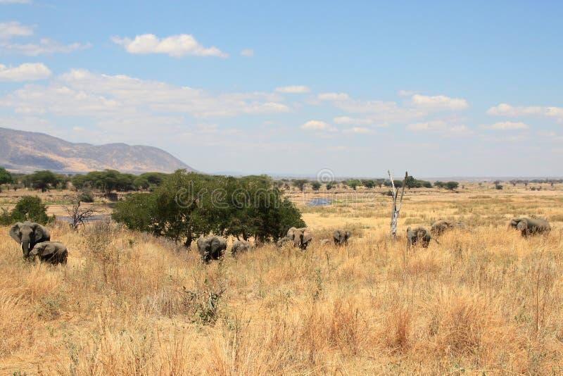 Un gruppo di elefanti in savanna fotografia stock