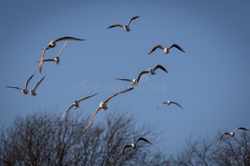 Un gruppo di gabbiano di volo fotografie stock