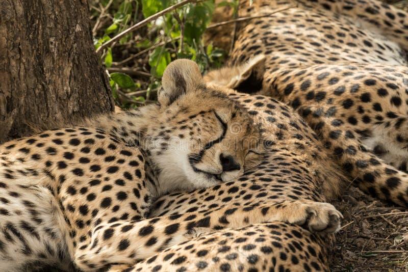 Un gruppo di giovani ghepardi di sonno immagini stock libere da diritti