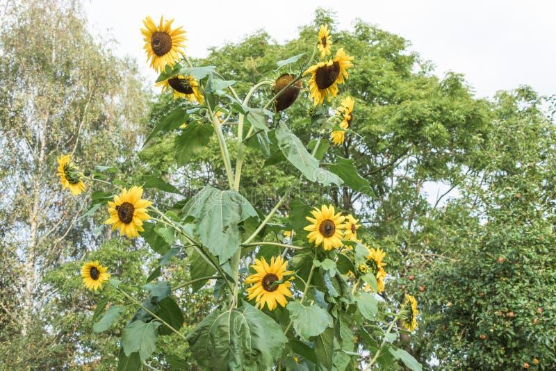 Un gruppo di girasoli gialli veduti contro un fondo di un gruppo di alberi alti e verdi immagini stock libere da diritti