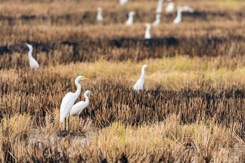 Un gruppo di Grandi Egret isolati in un campo di risaia bruciato, che guarda a distanza immagini stock